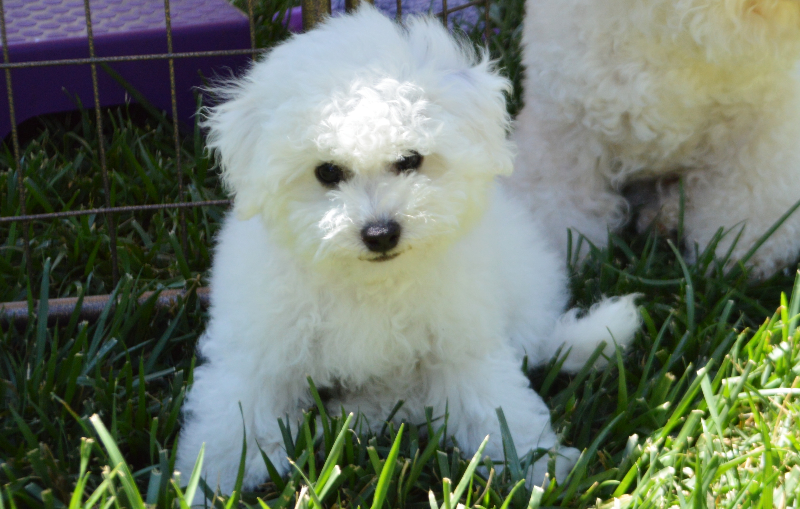 Puppies | California Bichons