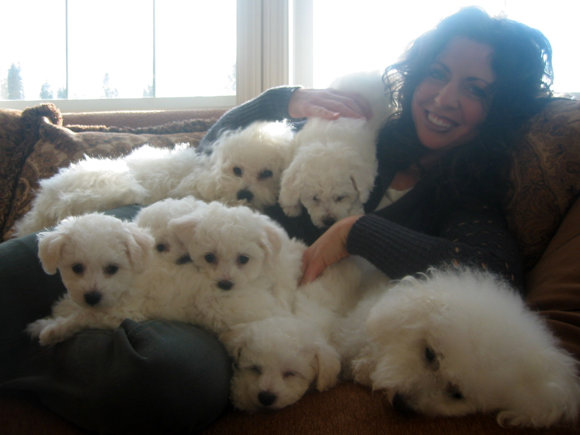 ... Bichons | Northern California Breeder of Beautiful AKC Bichon Frise Bichon Frise Akc