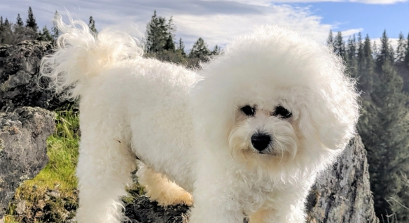 California Bichons | Northern California Breeder of