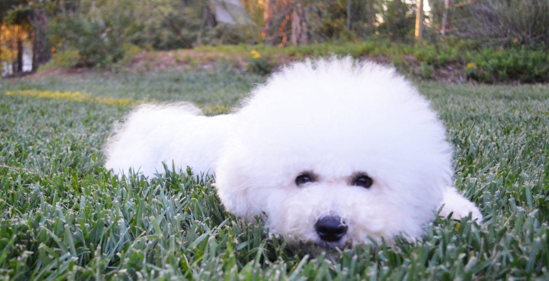 Puppies | California Bichons